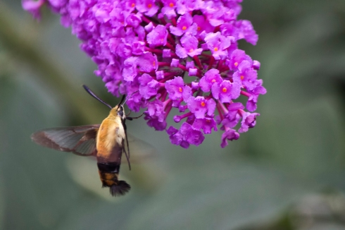 Hummingbird Moth ~ Photo by Dennis Sheehy